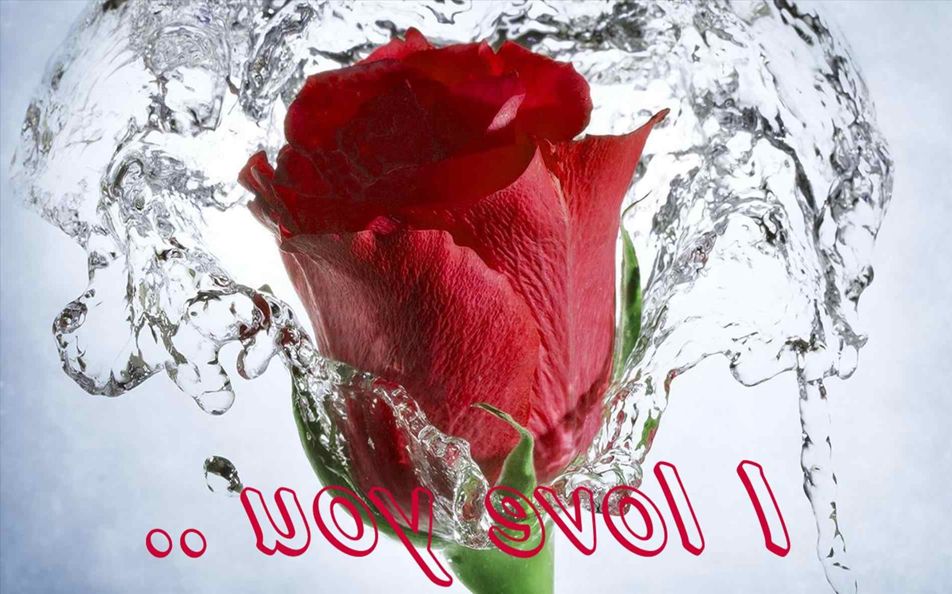 Download Rose Flower Wallpapers Free Download Hd