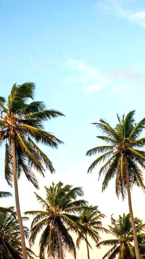 Download Palm Tree Wallpaper Hd Backgrounds Download Itl Cat