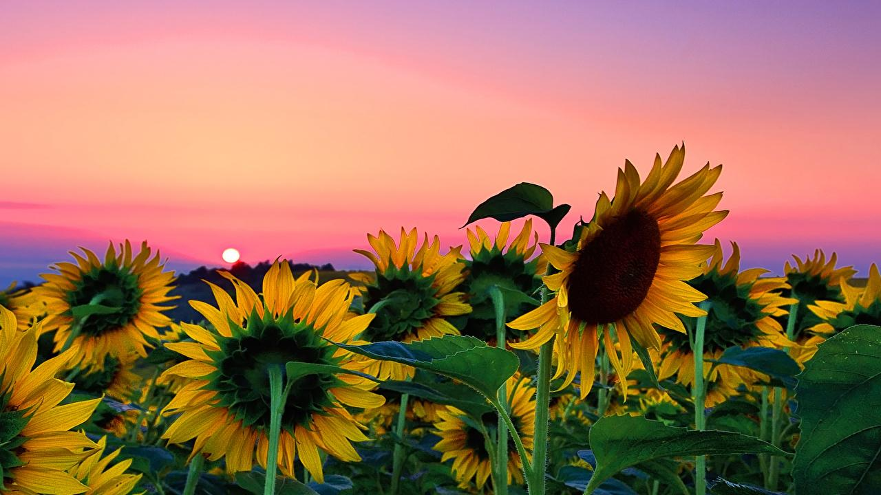Download Sunflowers Wallpaper Hd Backgrounds Download Itl Cat
