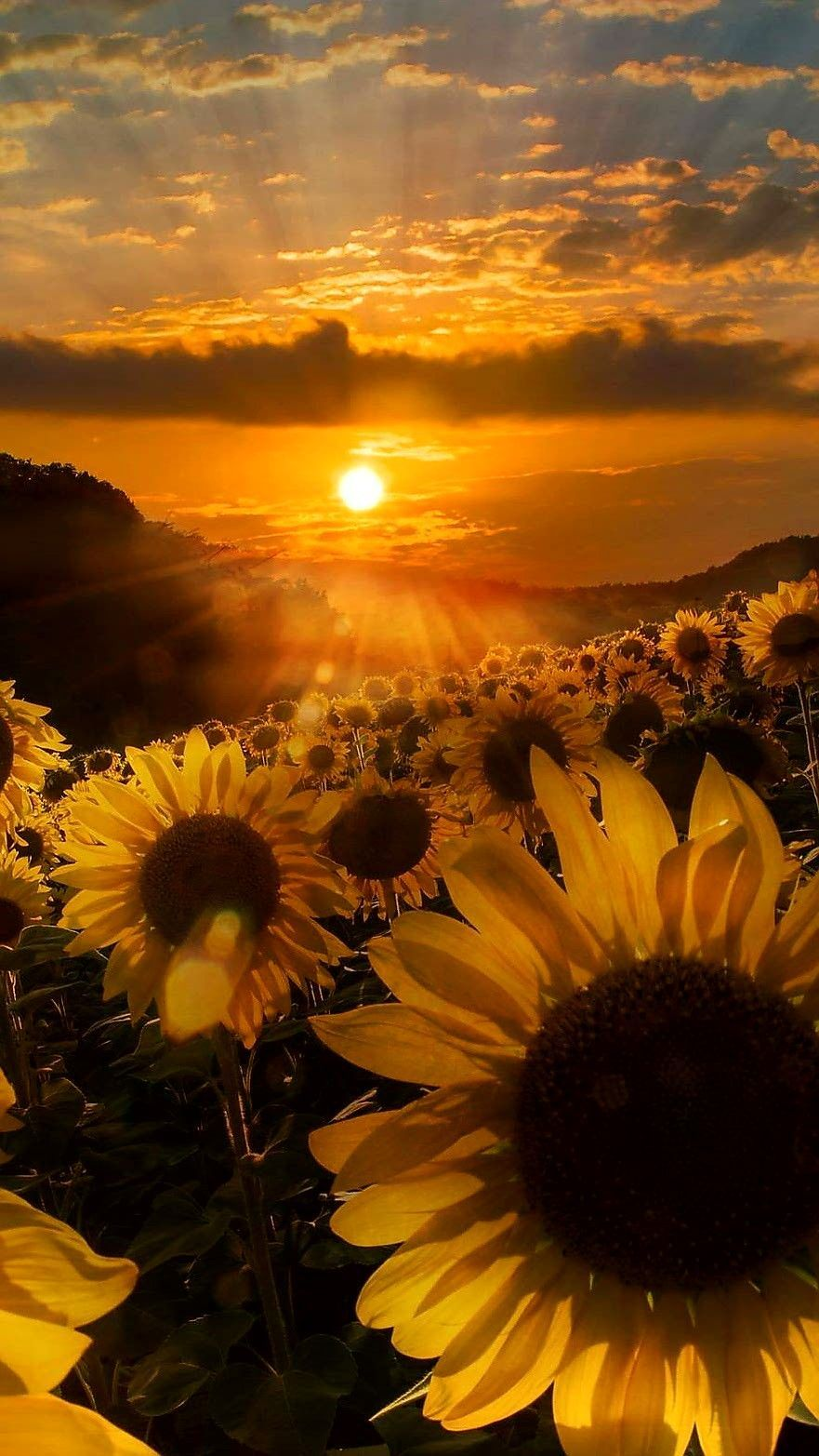 Wallpapers Of Sunflower 3d Android Wallpaper