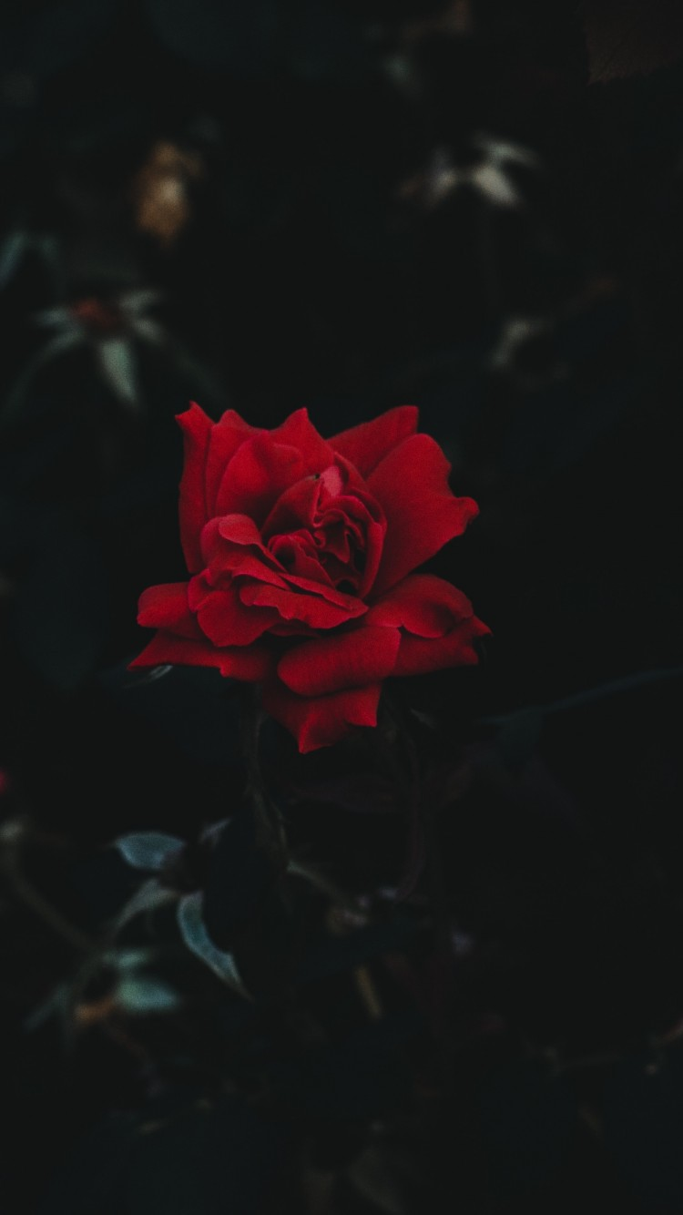 Download Red Roses Wallpaper Hd Backgrounds Download Itl Cat