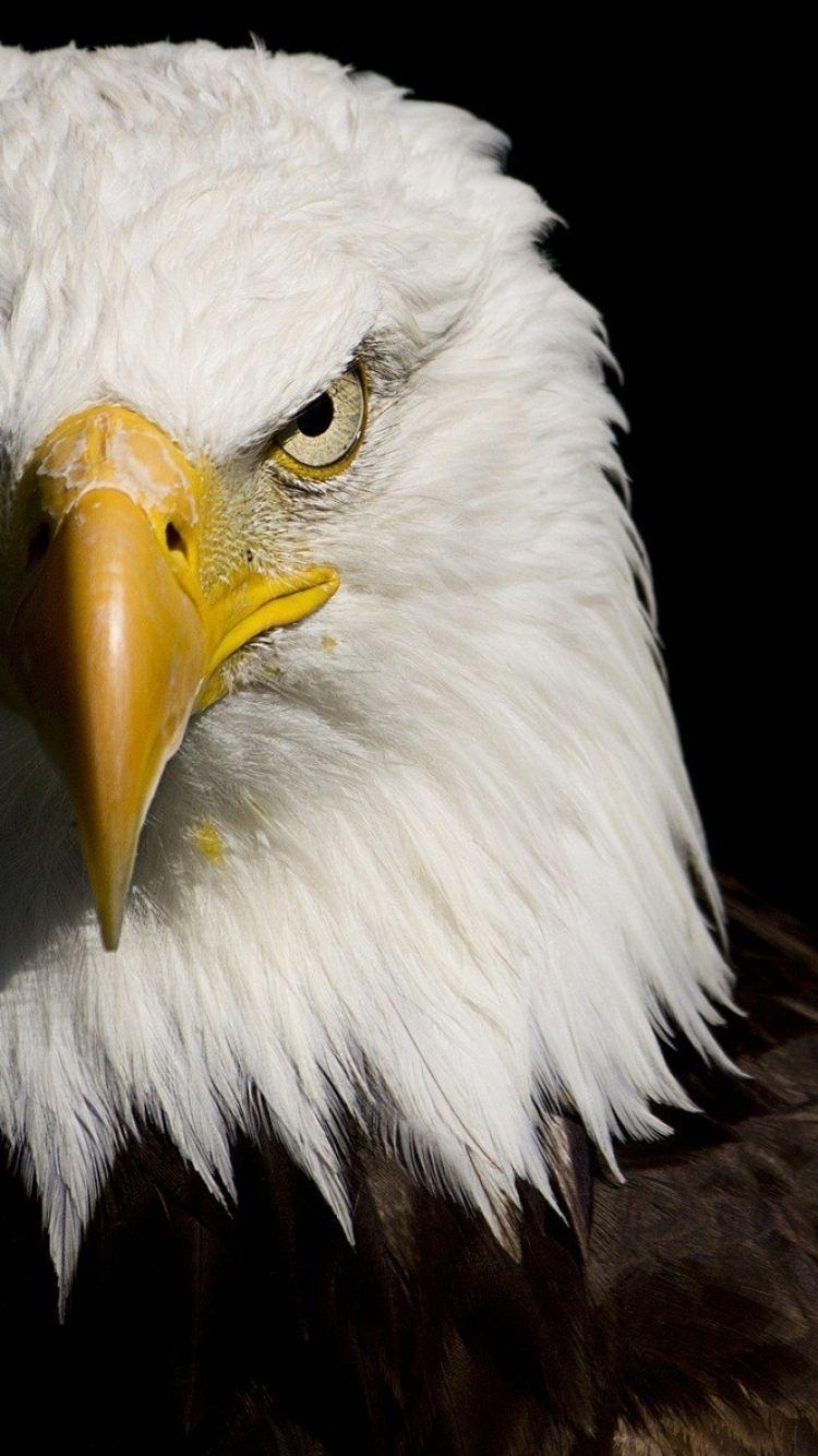 Download Bald Eagle Wallpaper High Resolution Hd