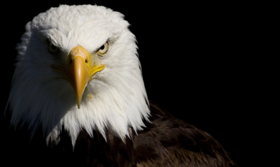 Bald Eagle Wallpaper High Resolution Find And Download