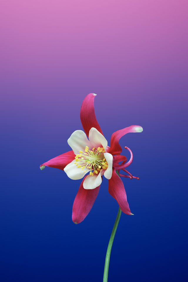 Flower Aquilegia Android Wallpaper - Ios 11 Gm , HD Wallpaper & Backgrounds