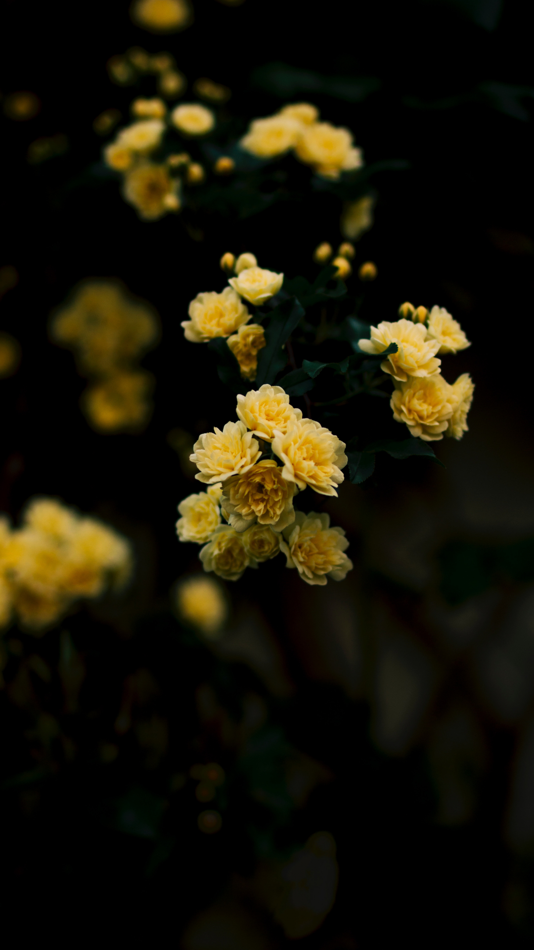 Yellow, Rose Iphone Wallpaper , Yellow Rose Wallpaper For