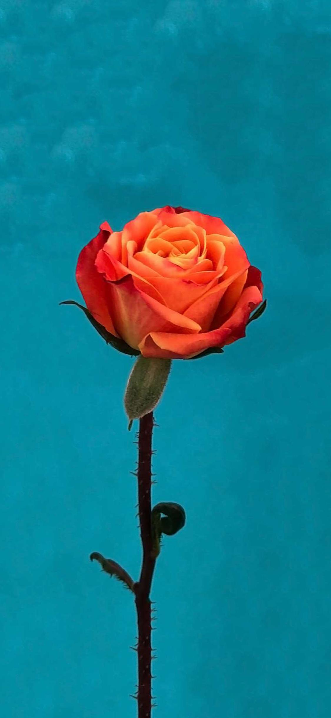 Ios 11 Orange Rose Wallpaper Rose Flower Wallpaper Iphone