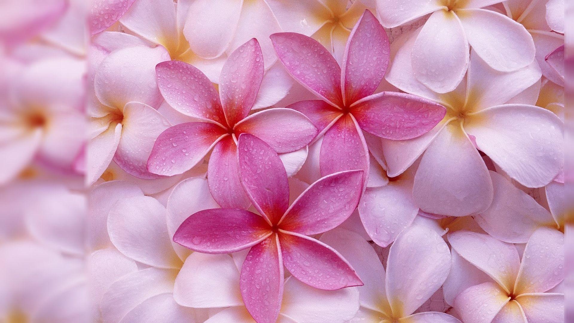 Pink Jasmine Flower - Beautiful Love Wallpaper For Desktop , HD Wallpaper & Backgrounds