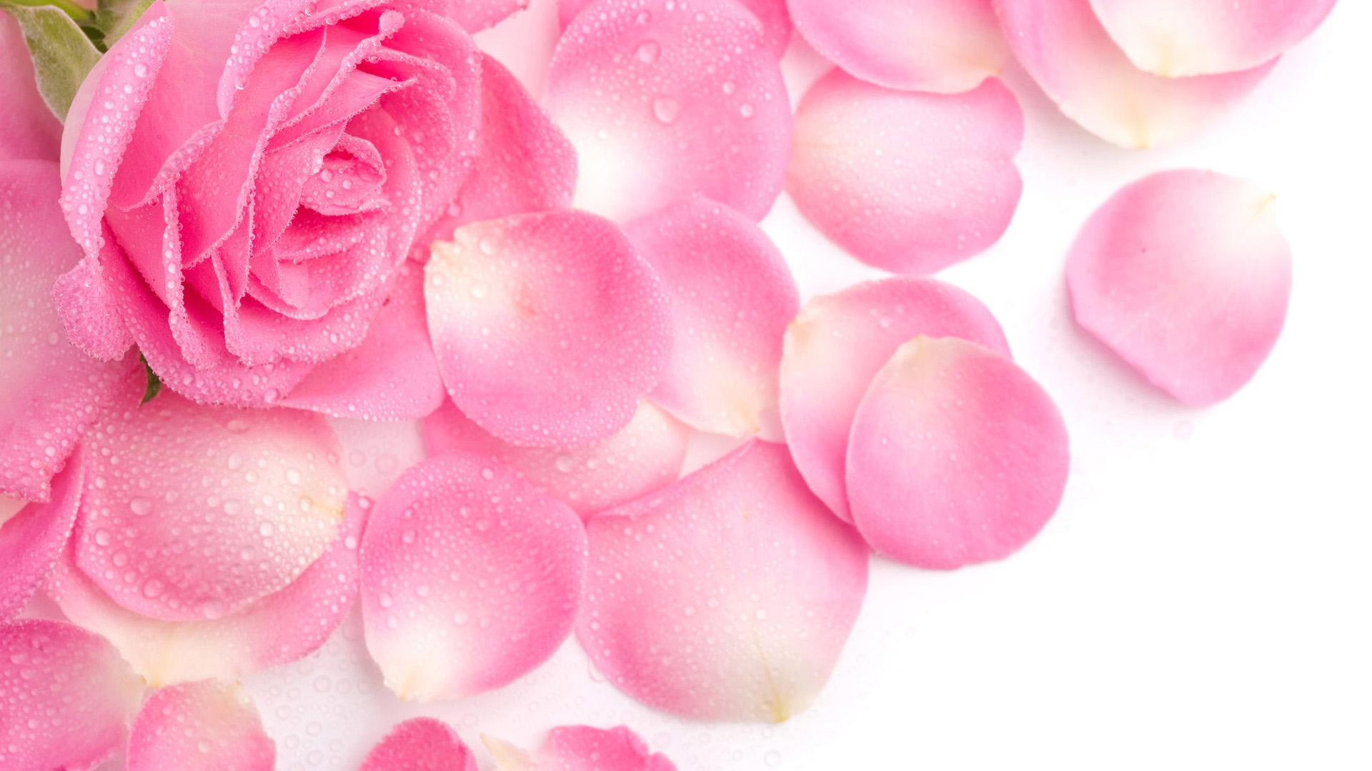 Beautiful Rose , HD Wallpaper & Backgrounds