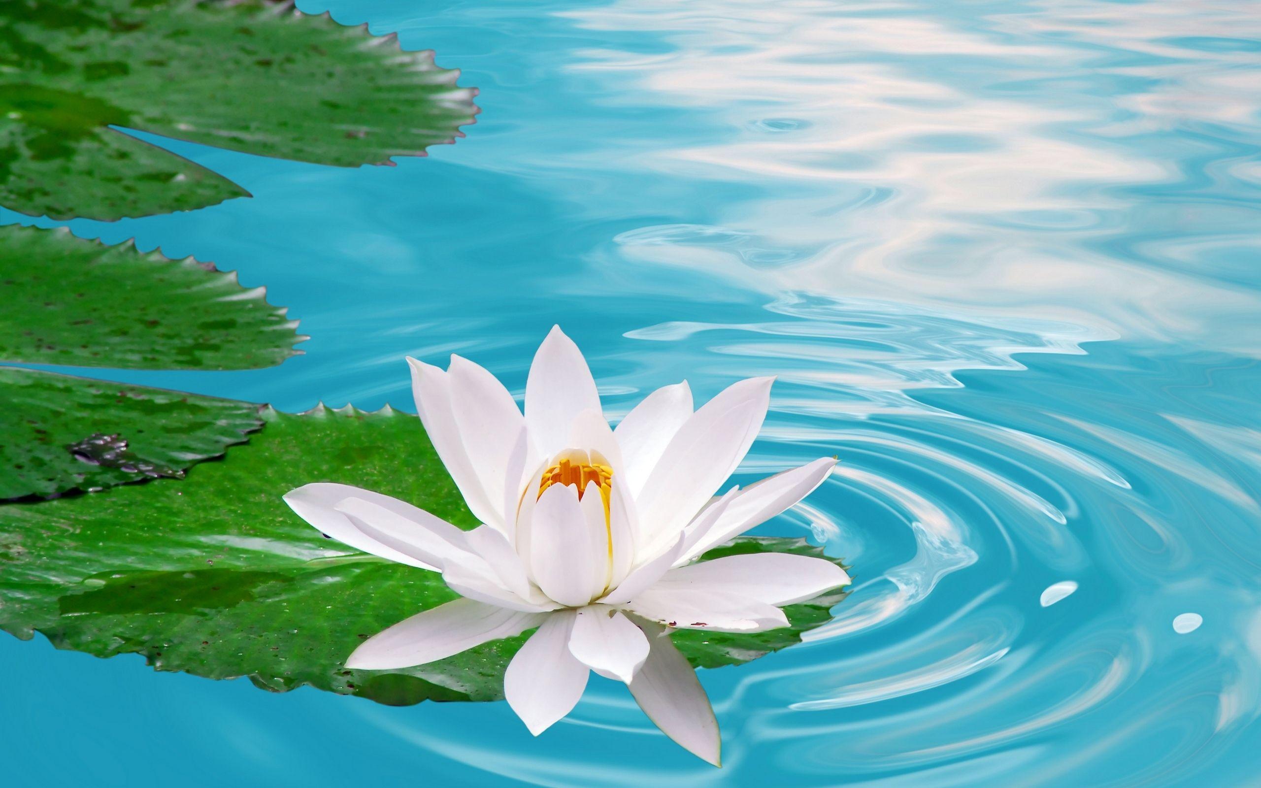 Lotus Flower Wallpapers 38 - Lotus Flower , HD Wallpaper & Backgrounds