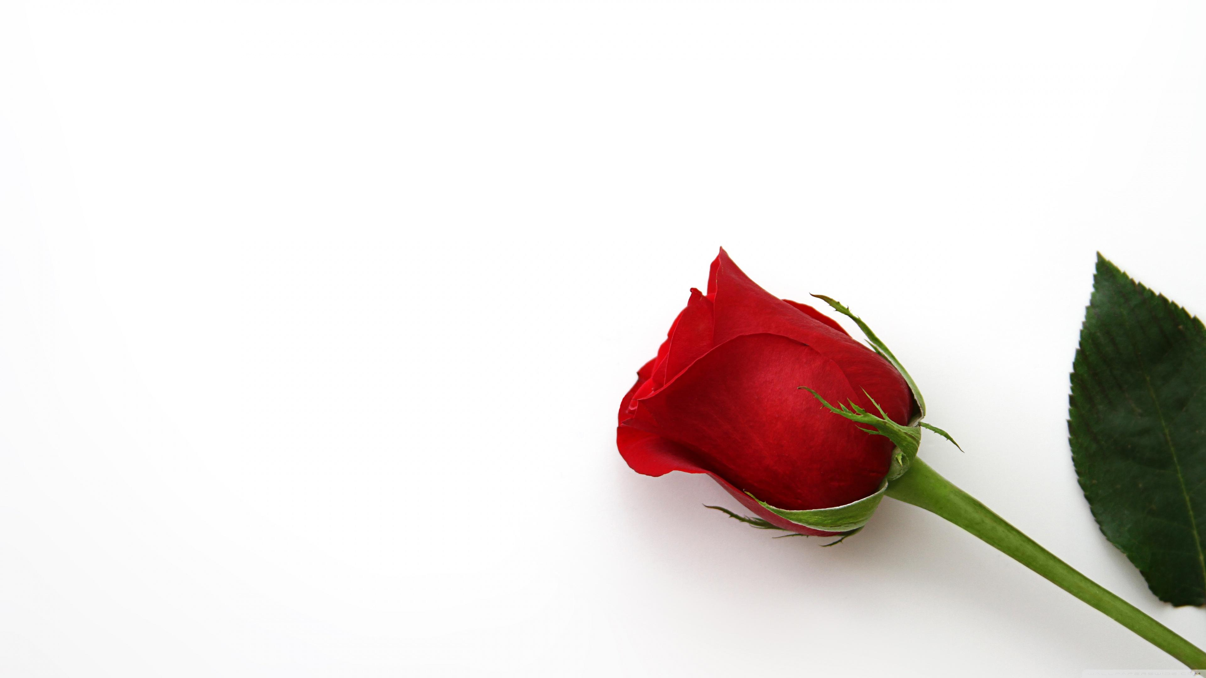 Beautiful Red Rose Flowers Hd , HD Wallpaper & Backgrounds