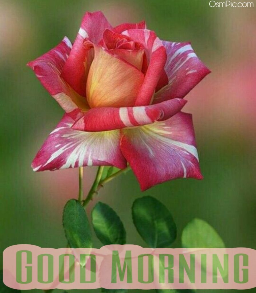 Good Morning Images With Rose Flowers Hd Pictures And Flowers Good Morning Photo Download Whatsapp 15771 Hd Wallpaper Backgrounds Download