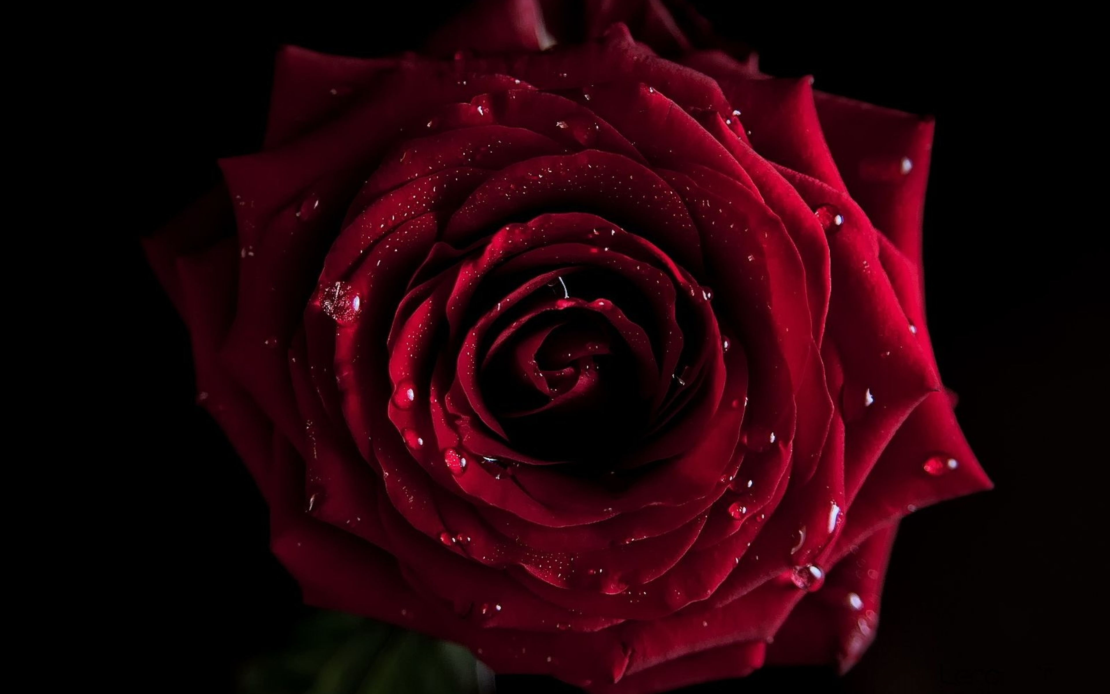 Red Rose Hd Wallpapers 1080p Dark Red Flower Hd 100025