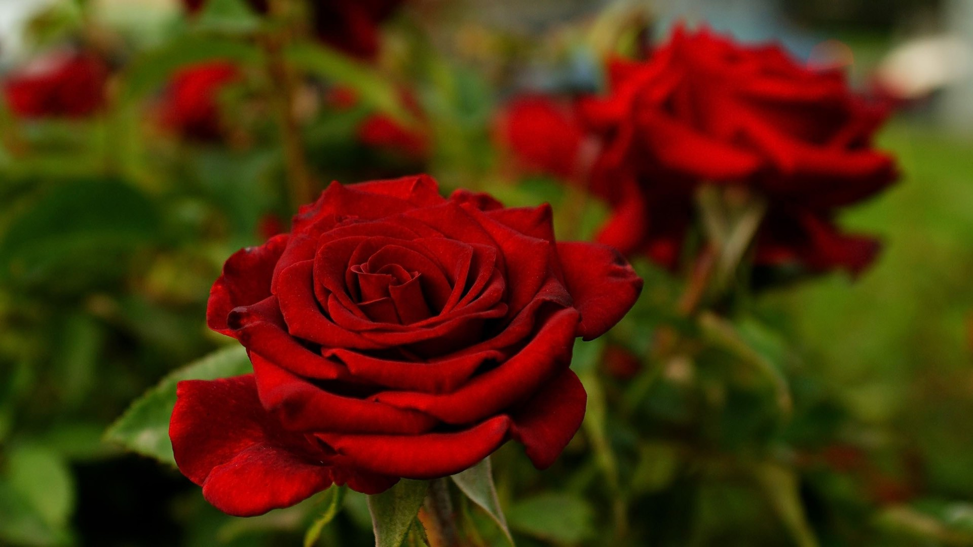 Nature Flower Rose - Hd Nature Flower Rose , HD Wallpaper & Backgrounds