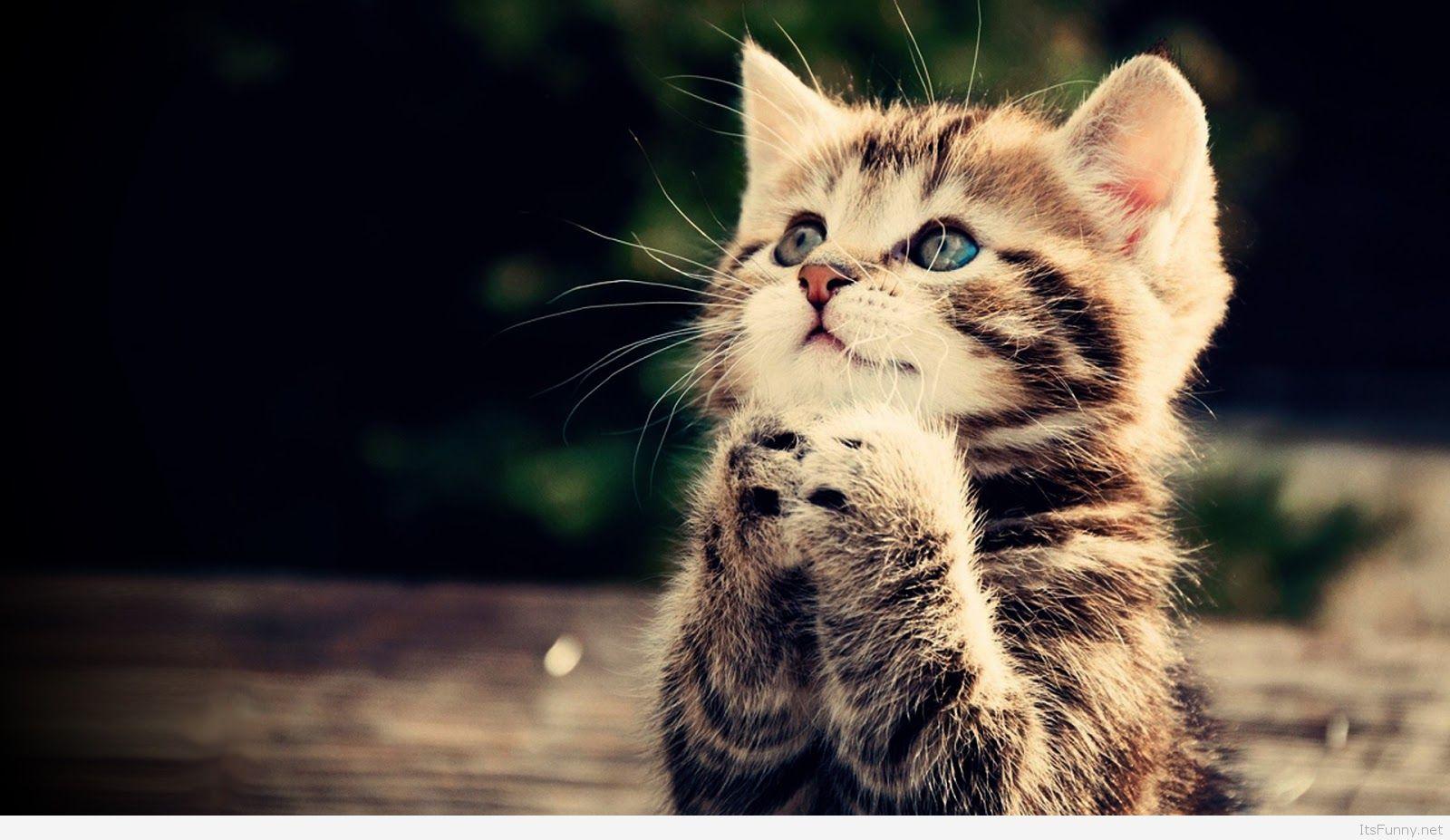 Funny Cat Full Hd Wallpaper Praying Kitten Cute - Fondos De Pantalla De Gatos Tiernos , HD Wallpaper & Backgrounds