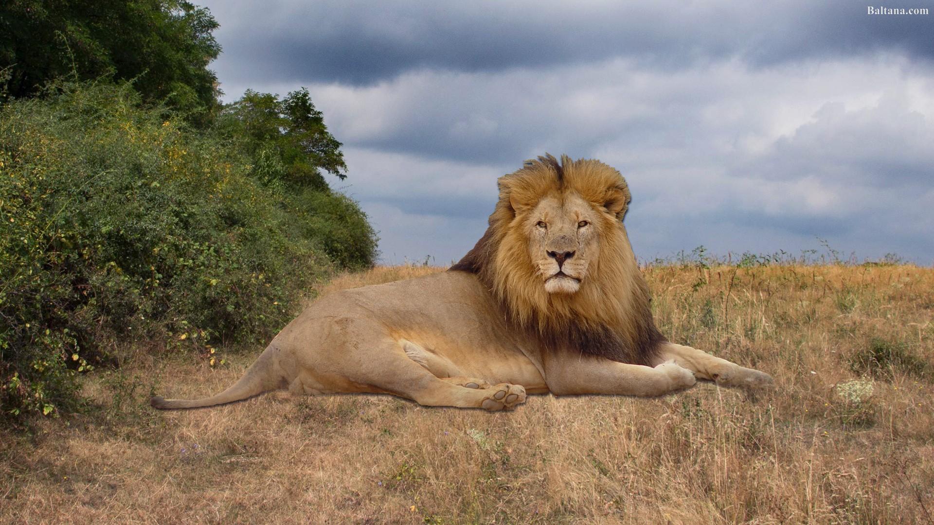 Lion Hd Desktop Wallpaper - Lion Hd Images For Desktop , HD Wallpaper & Backgrounds
