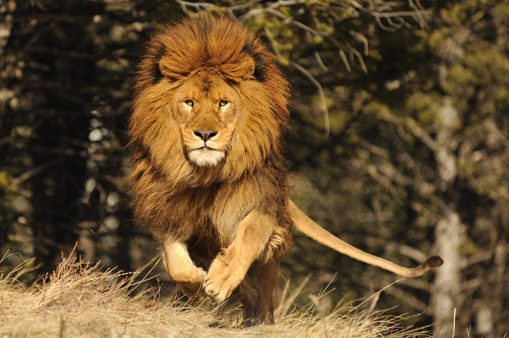 Hd Photo Animal Lion - Lion Running Images Hd , HD Wallpaper & Backgrounds