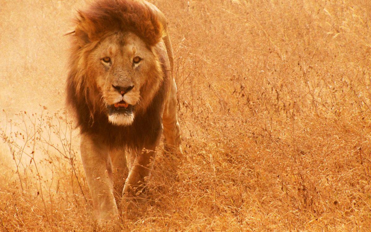 Lion Hd Wallpaper - Background Lion Images Hd , HD Wallpaper & Backgrounds