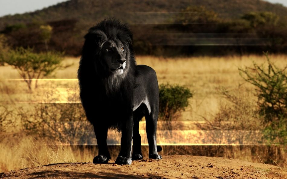 Black Lion - Black African Lion , HD Wallpaper & Backgrounds