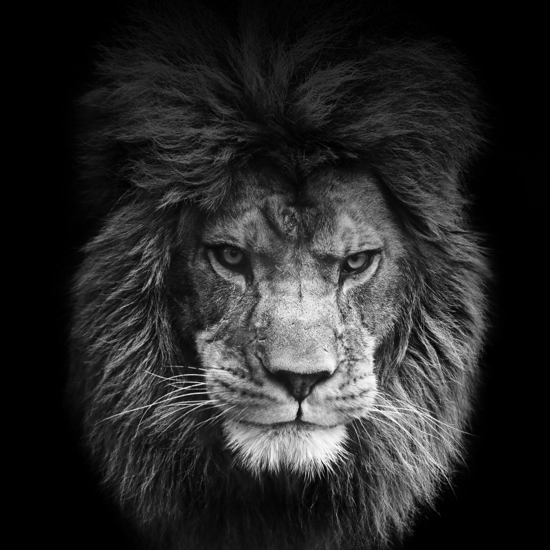 Angry Lion Face Wallpaper - Black And White Lion Roar , HD Wallpaper & Backgrounds