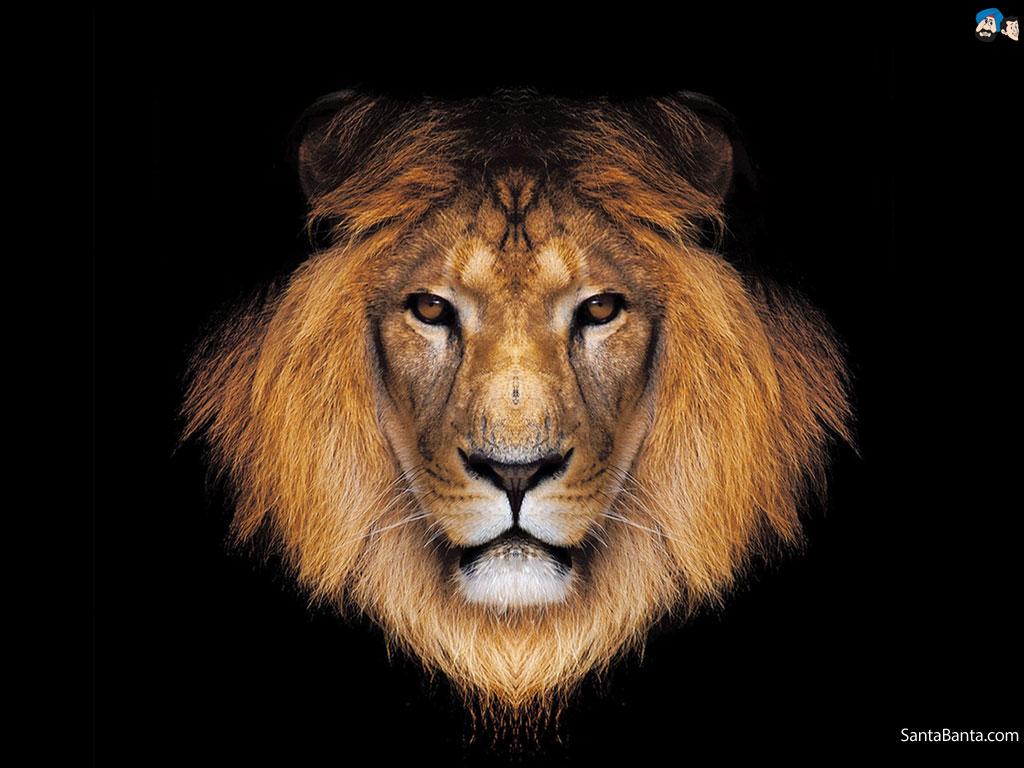Lion Hd , HD Wallpaper & Backgrounds