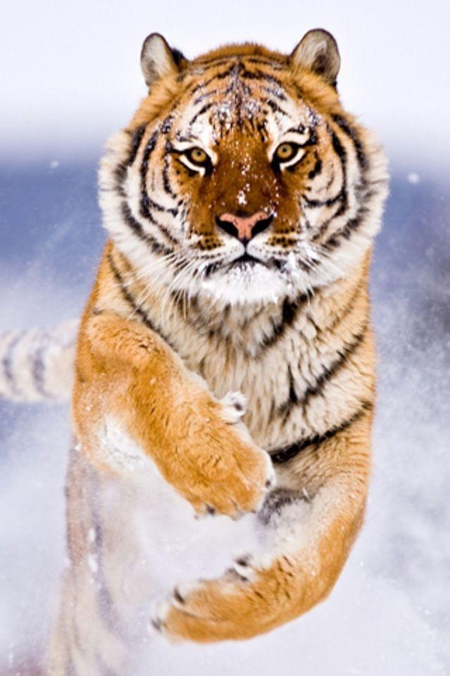 Bengal Tiger Iphone Hd Wallpaper Bengal Tiger 105134 Hd Wallpaper Backgrounds Download