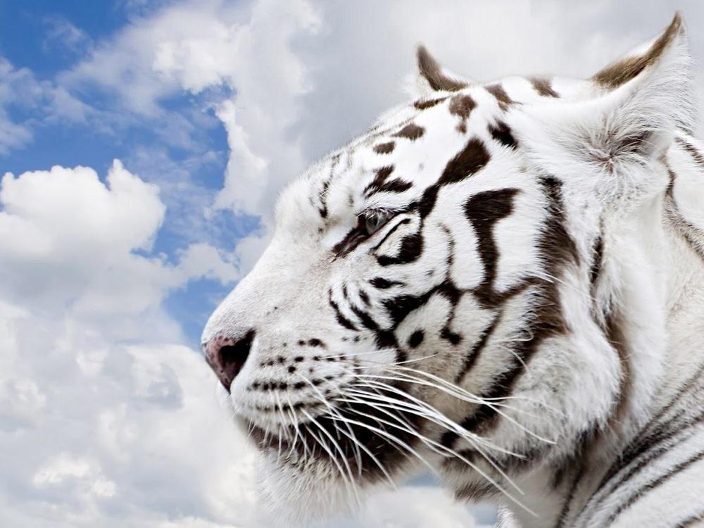 White Tiger Hd Wild Animal Wallpapers - Papel De Parede Grande , HD Wallpaper & Backgrounds