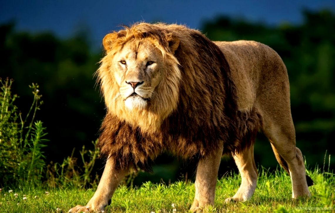 Lion Hd Wallpapers - Lion Animal Image Hd , HD Wallpaper & Backgrounds