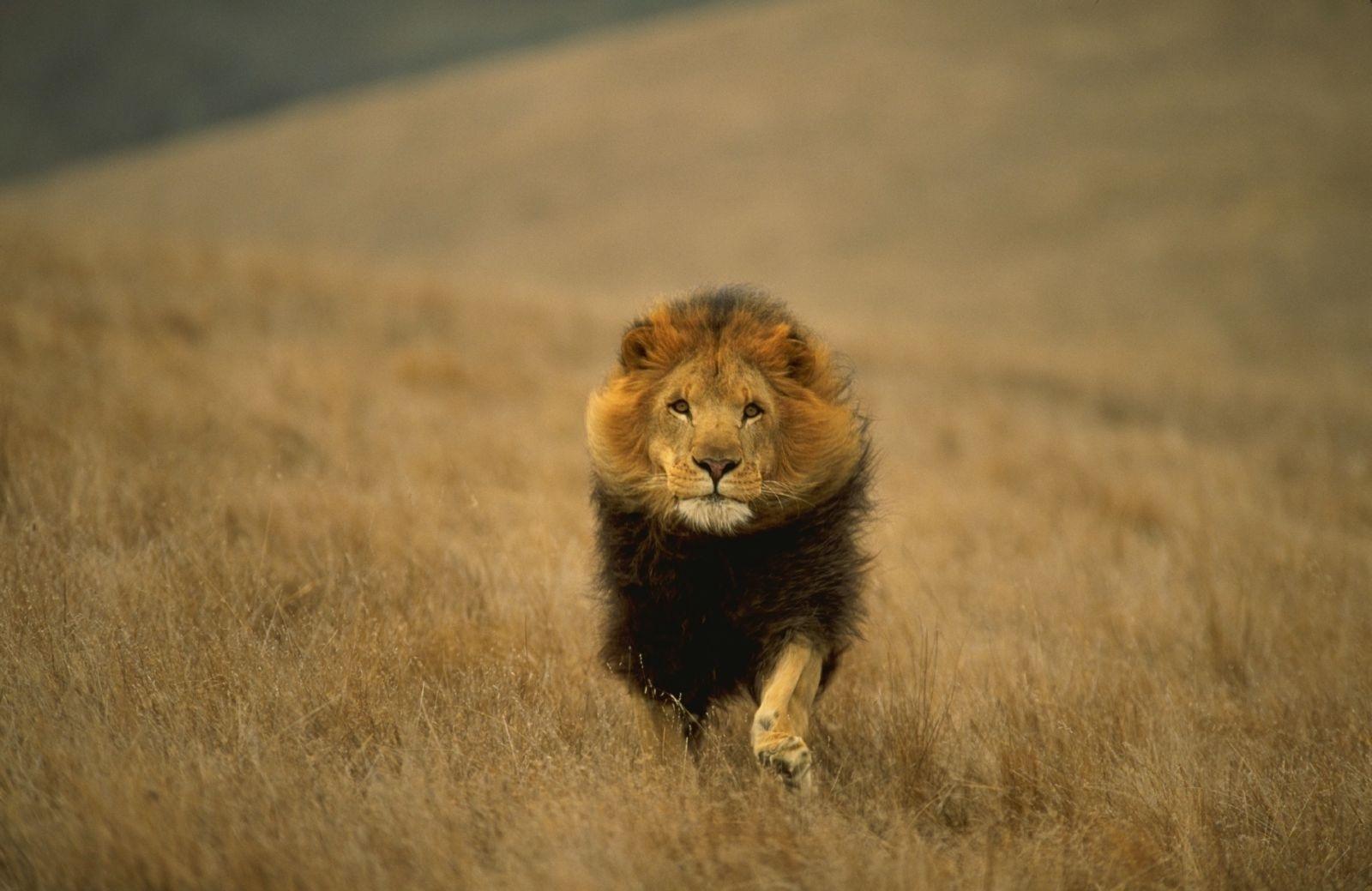 Lion Hd Background , HD Wallpaper & Backgrounds