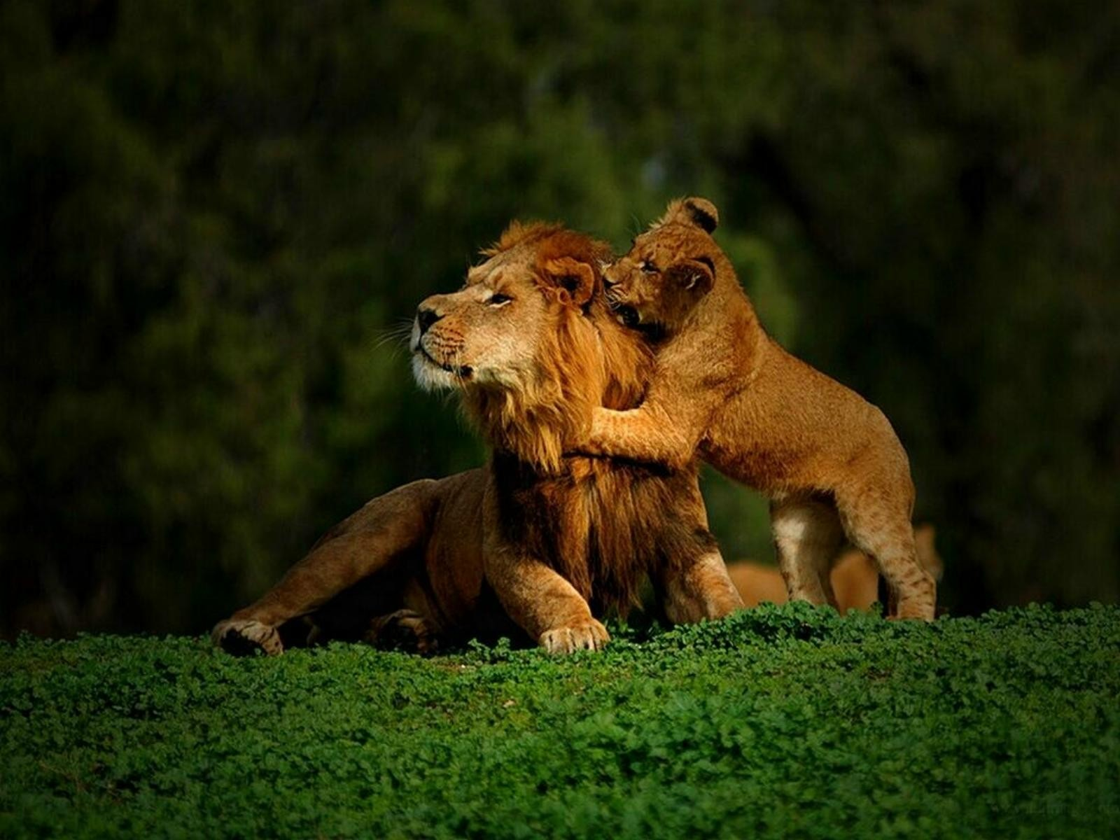 10 105246 lion and baby hd