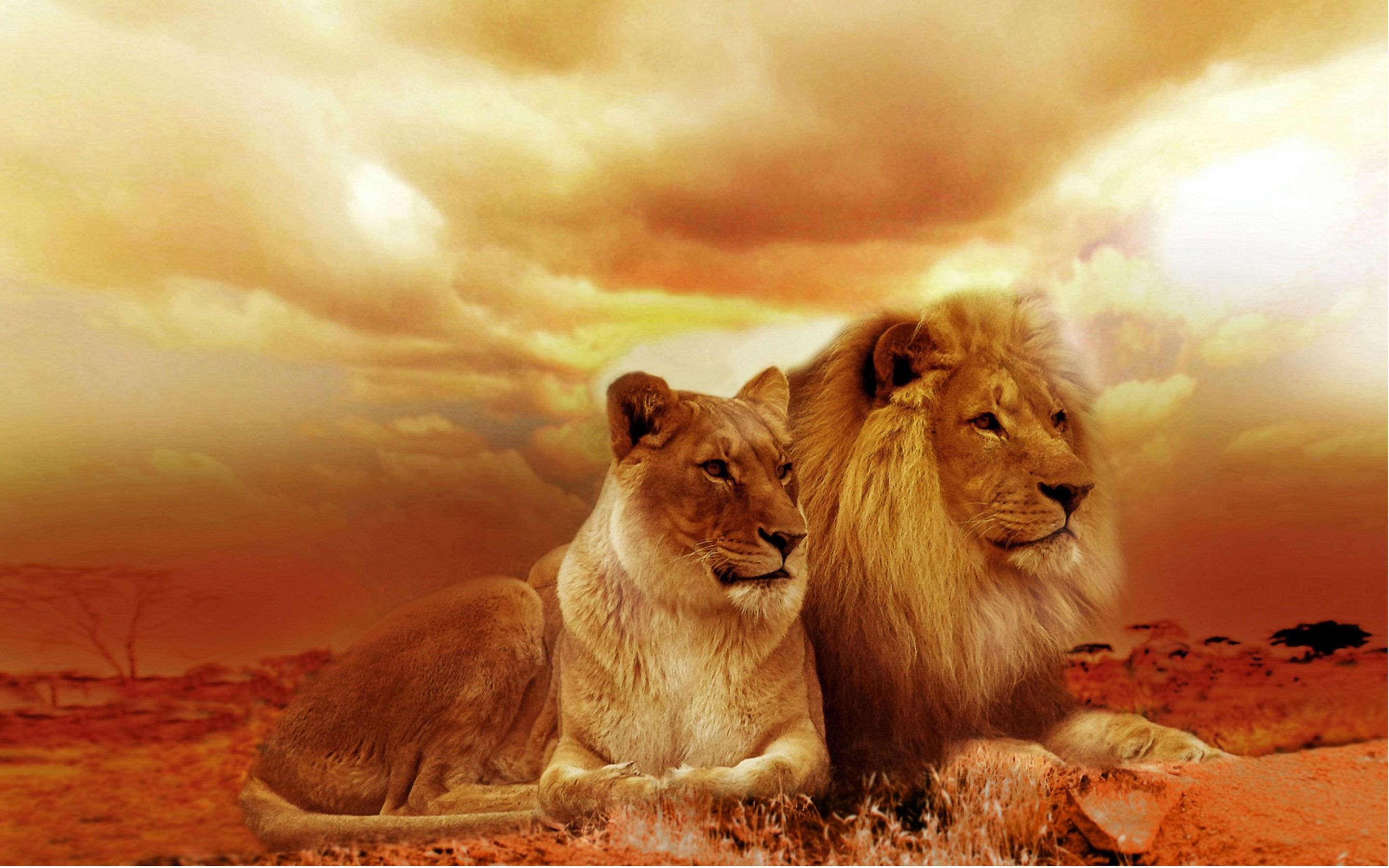 Beautiful Lion , HD Wallpaper & Backgrounds