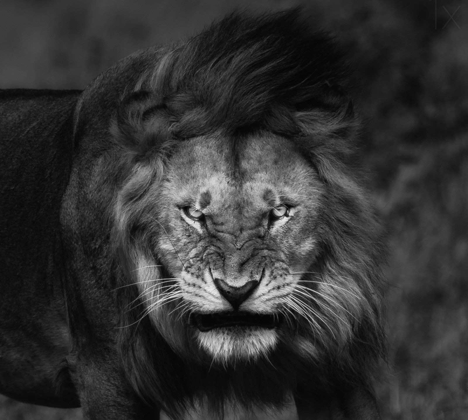 1066 Lion Hd Wallpapers - Lion Never Give Up , HD Wallpaper & Backgrounds
