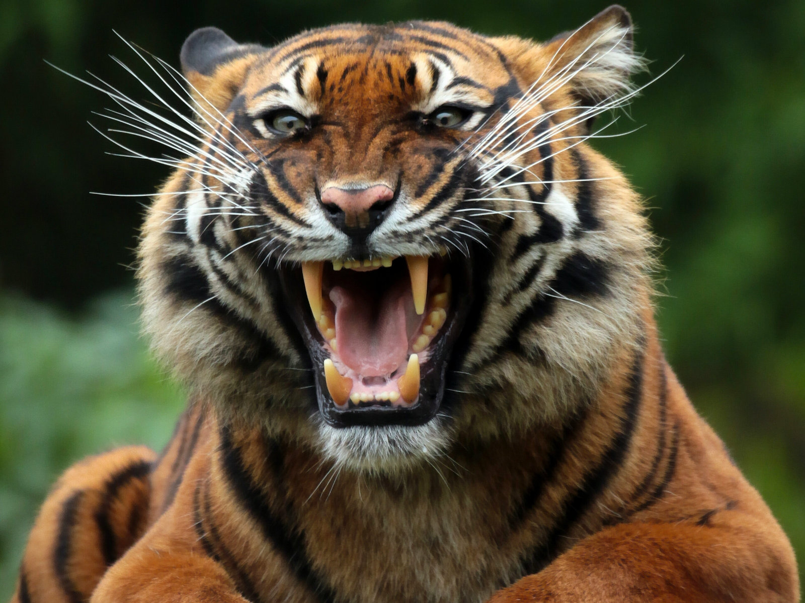 Tiger Pics Wallpaper Tiger Hd Wallpapers Tiger Pictures - Angry Roaring Tiger , HD Wallpaper & Backgrounds