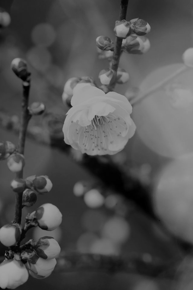 Apricot Flower Bud Dark Spring Nature Twigs Tree Iphone - Spring Wallpaper Iphone Xr , HD Wallpaper & Backgrounds