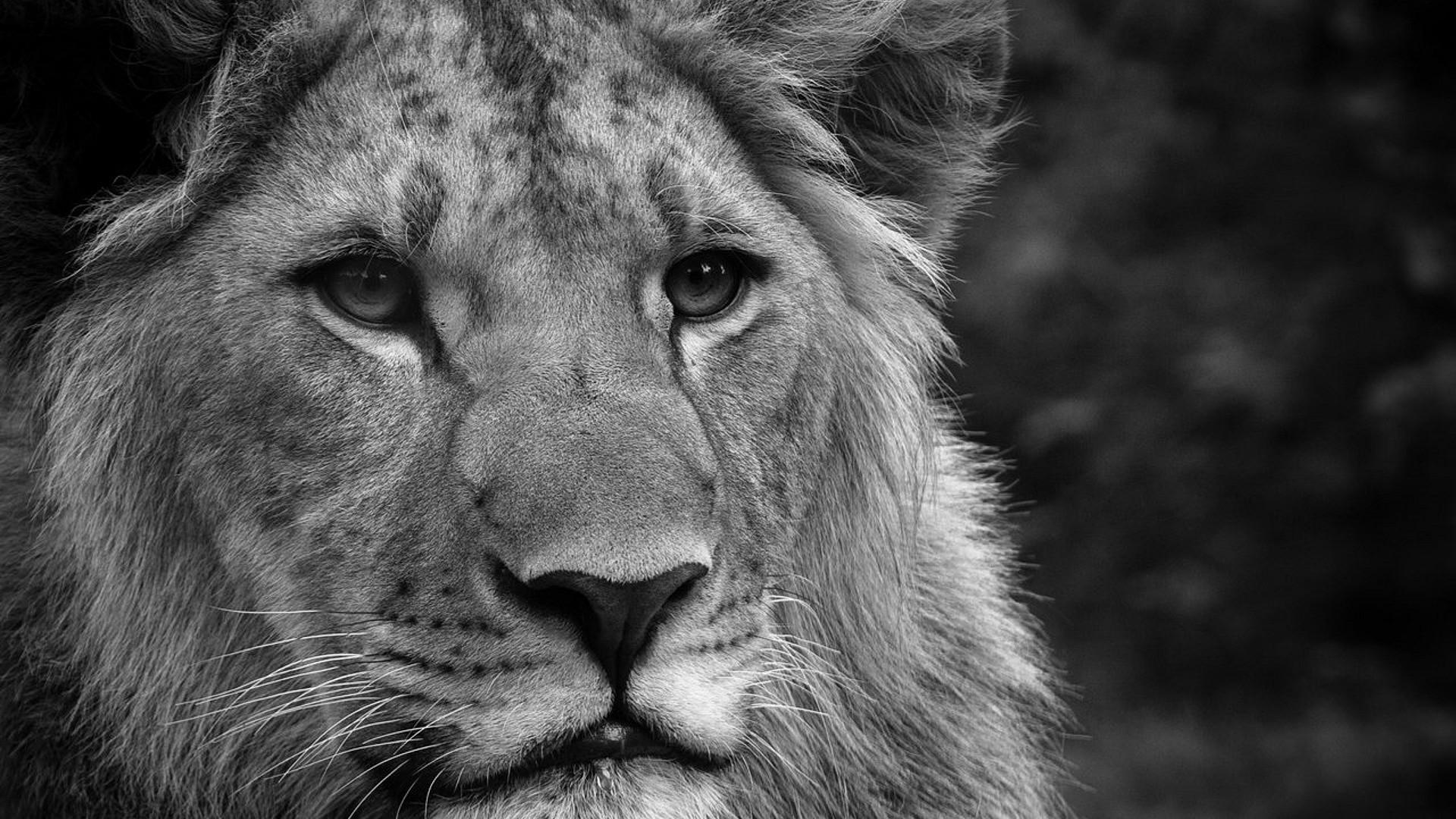 Black And White Face Lion Wallpaper Wide Wallpaper - Animals Wallpaper 4k , HD Wallpaper & Backgrounds