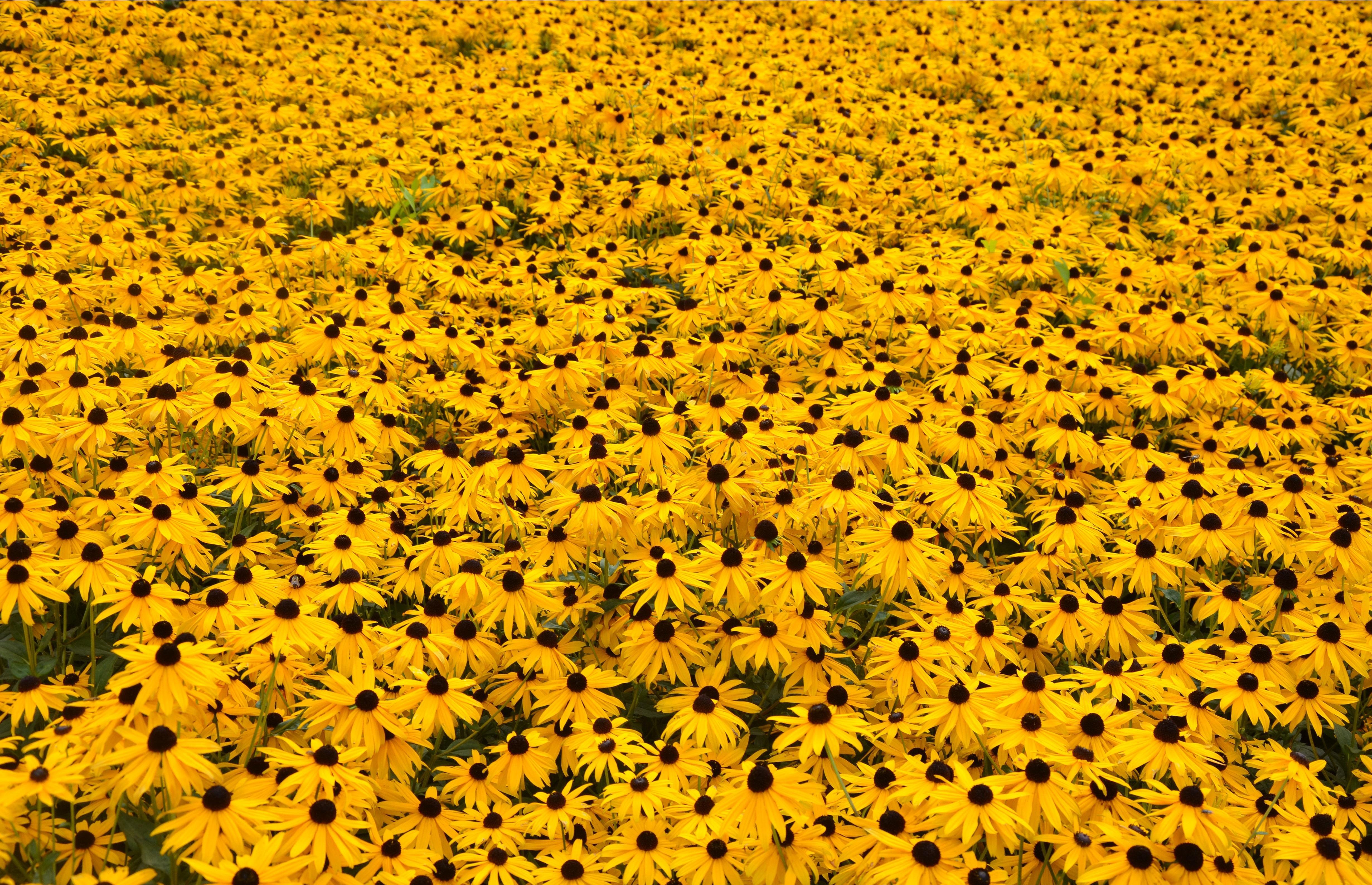 Yellow Flowers Computer Wallpaper Hufflepuff Sunflowers 1051757 Hd Wallpaper Backgrounds Download