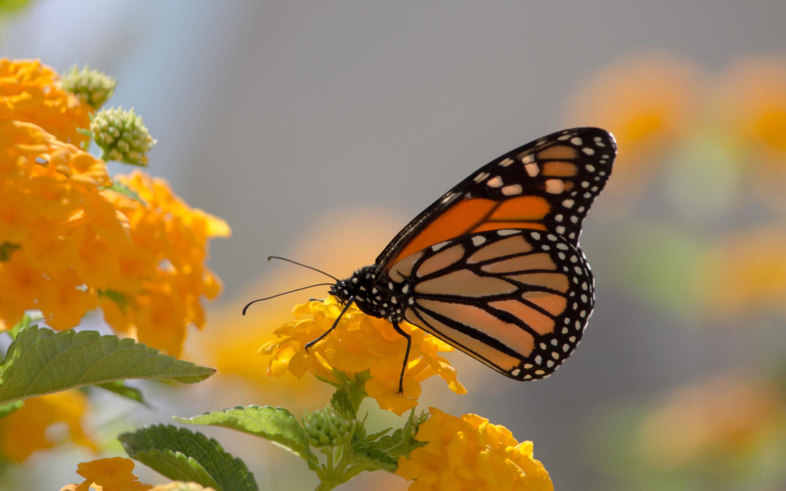 Lock Screen Butterfly Wallpaper Hd 1052131 Hd Wallpaper