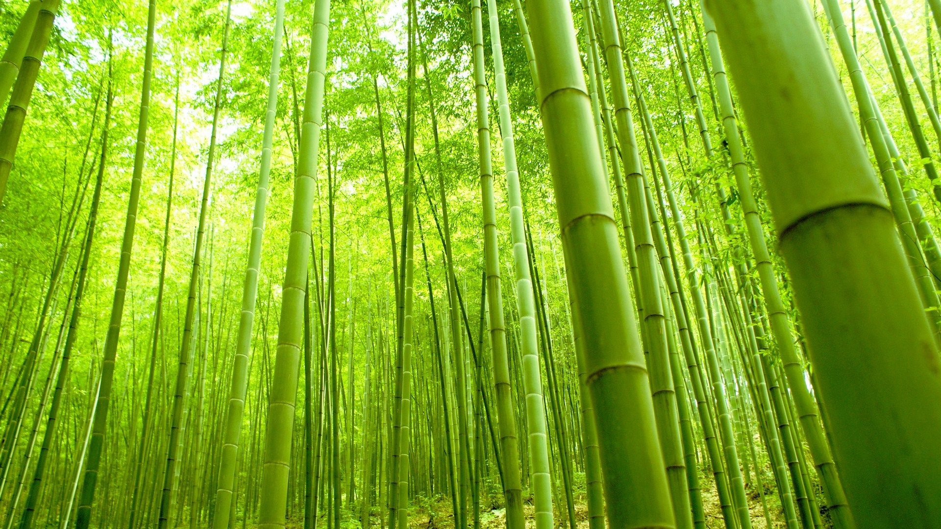 Bamboo Forest Wallpaper Hd - Bamboo Tree , HD Wallpaper & Backgrounds