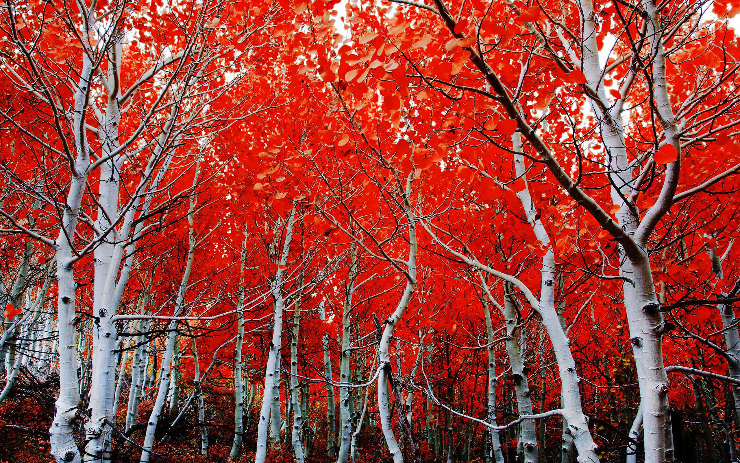 Forest, Red Tree, Fall, Birch - White Bark Tree Red Leaves , HD Wallpaper & Backgrounds