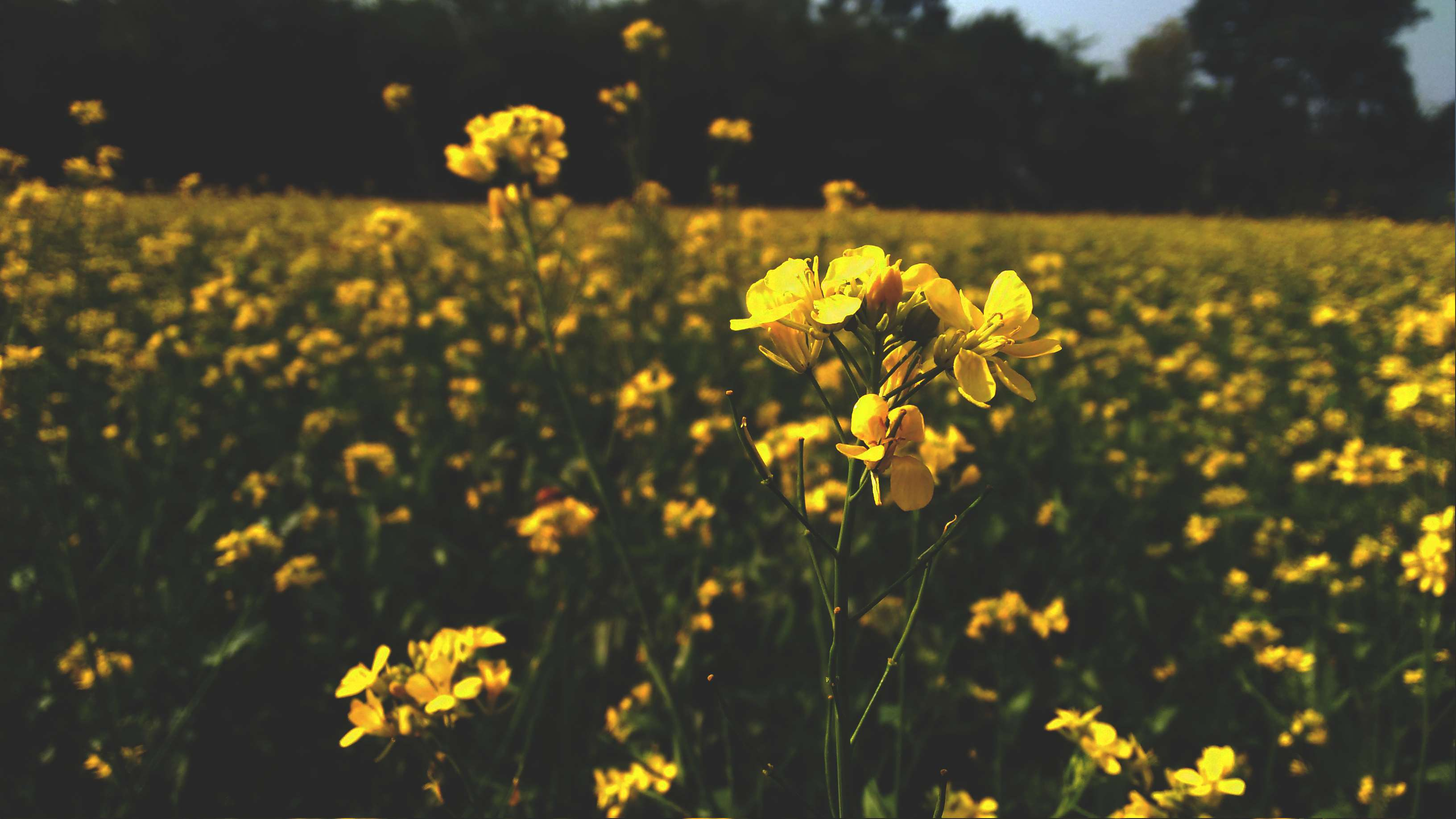 Awesome Dark Flower Focused Green Musted Sky Yellow