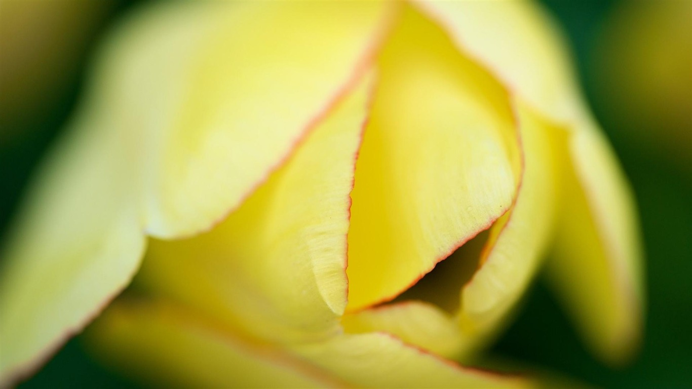 Win8 Fresh Plants Flowers Macro Theme Wallpaper 13 - Yellow Tulip , HD Wallpaper & Backgrounds