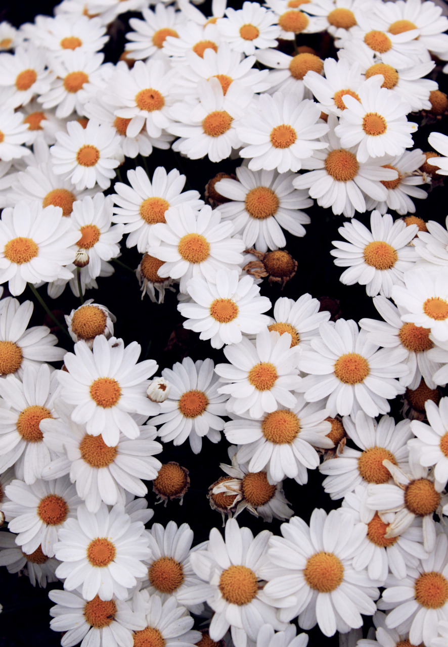 Iphone Daisies 1063450 Hd Wallpaper Backgrounds Download