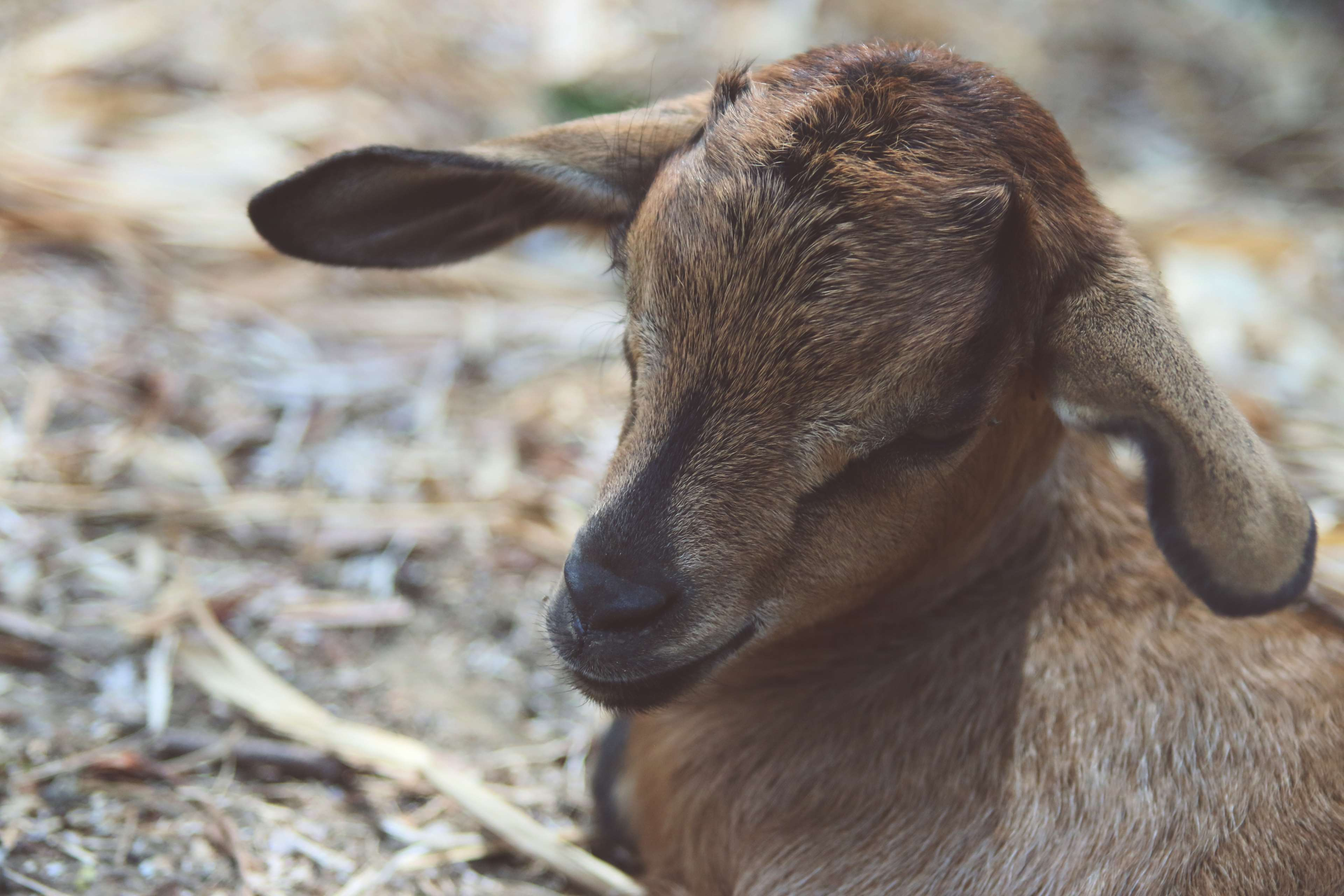 Animal Baby Goat Farm Goat 4k Wallpaper And Background