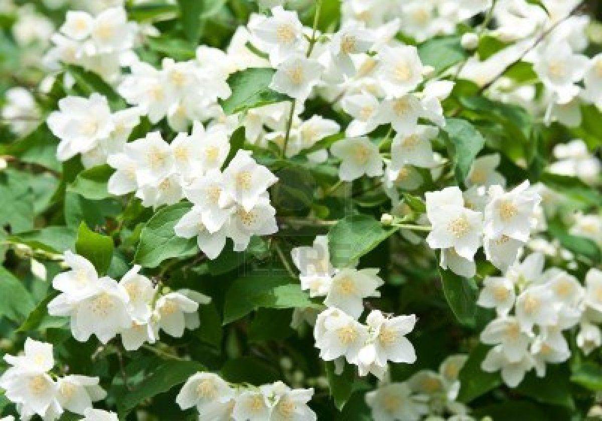Jasmine Flower - Most Beautiful Jasmine Flower , HD Wallpaper & Backgrounds