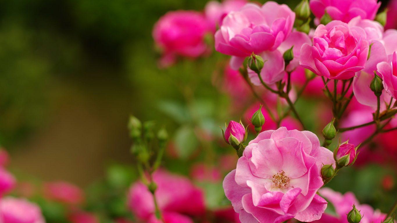 Pink Beautiful Leaves Flowers Fragrance Lovely Scent - Floribunda , HD Wallpaper & Backgrounds