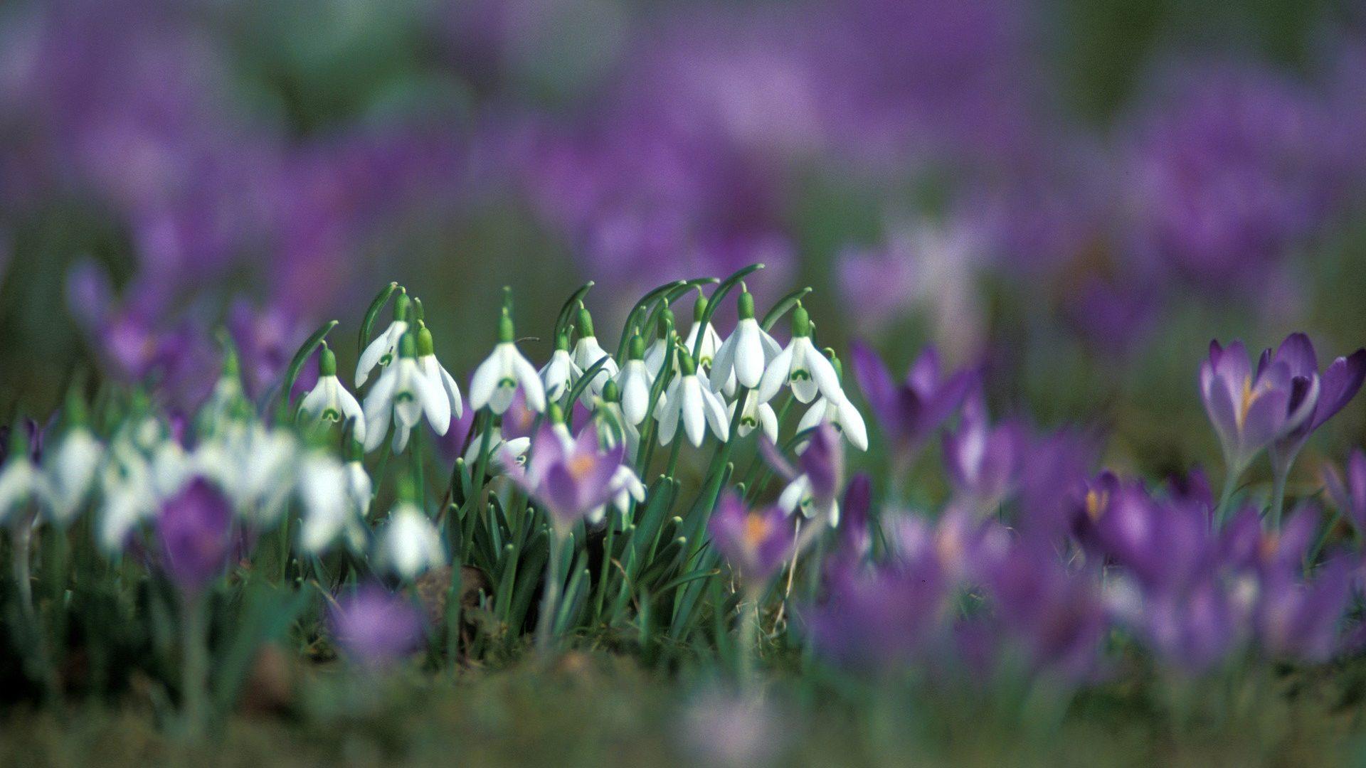 Download White Purple Flowers Wonderful Jasmine Flower - Field Of Snowdrops , HD Wallpaper & Backgrounds