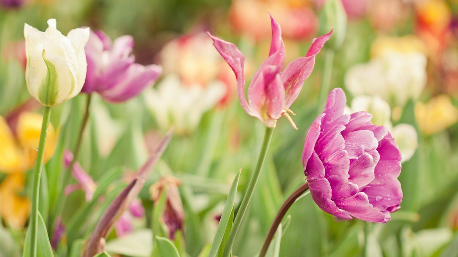 Flowers Field Beautiful Lovely Tulips Flower Desktop - Wide Vga , HD Wallpaper & Backgrounds