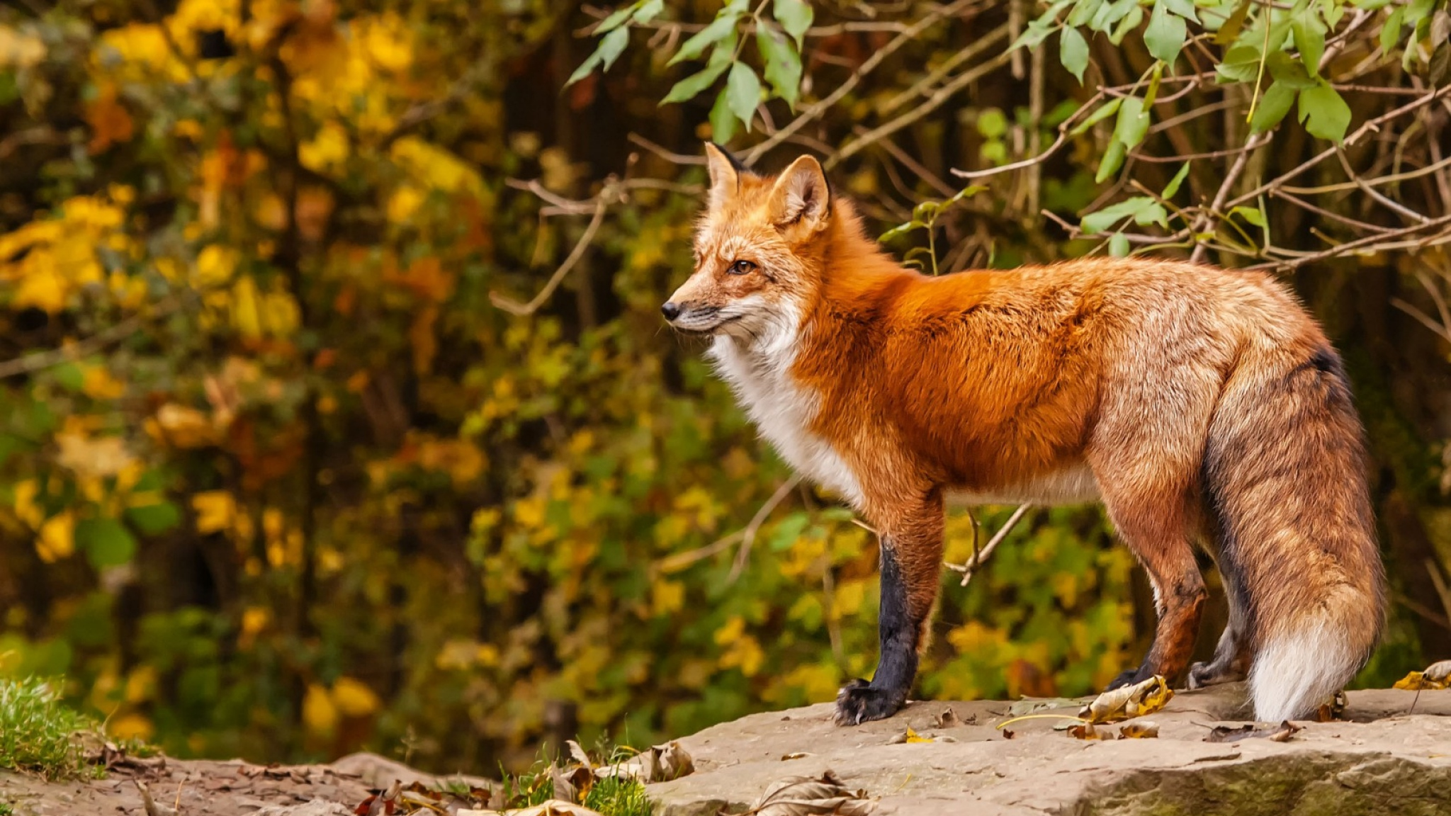 Interesting Red Fox Quality Pictures Collection Red Fox