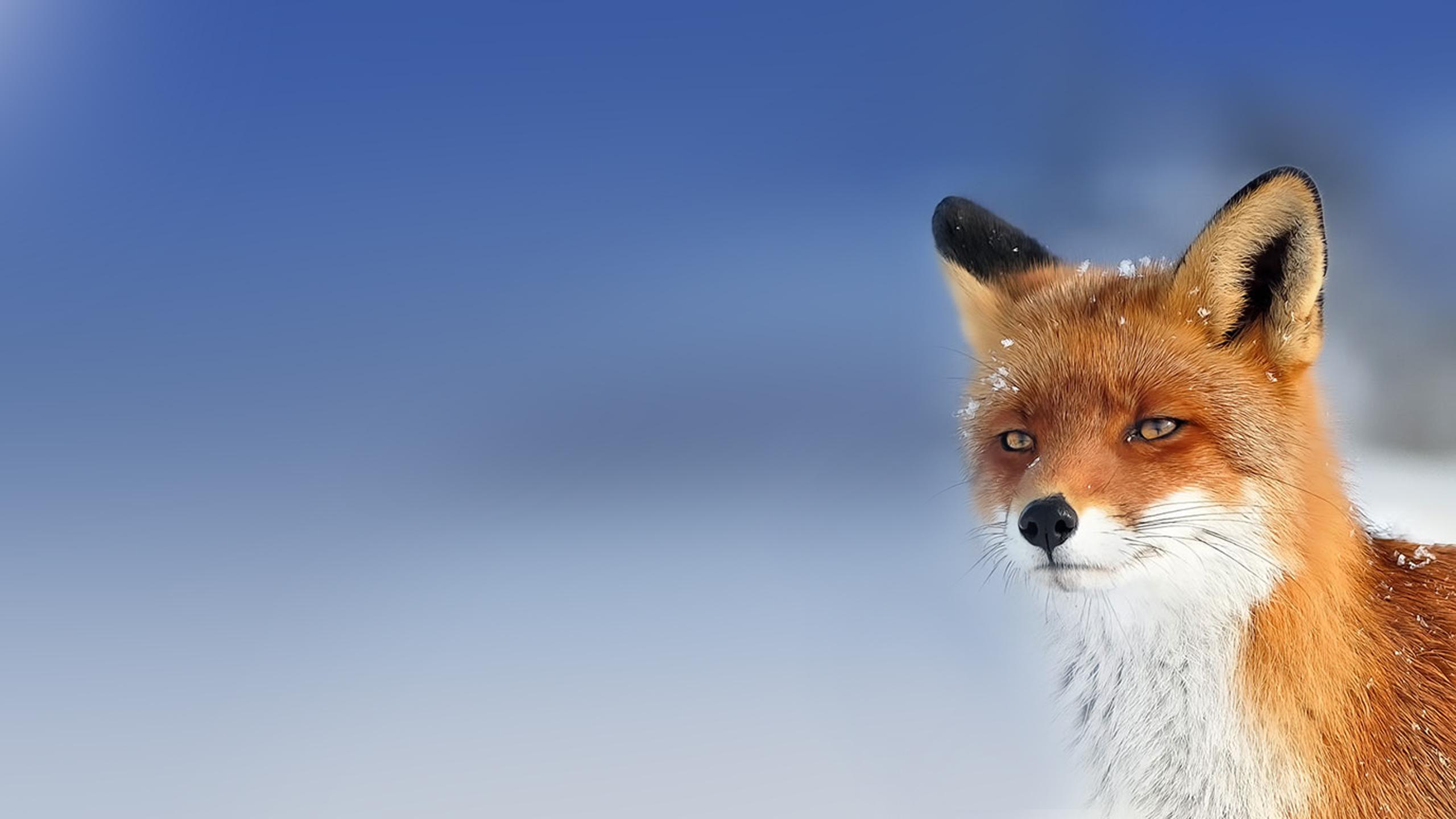 Hd Beautiful Wild Fox Wallpaper Hd Full Size 2560 X 1440