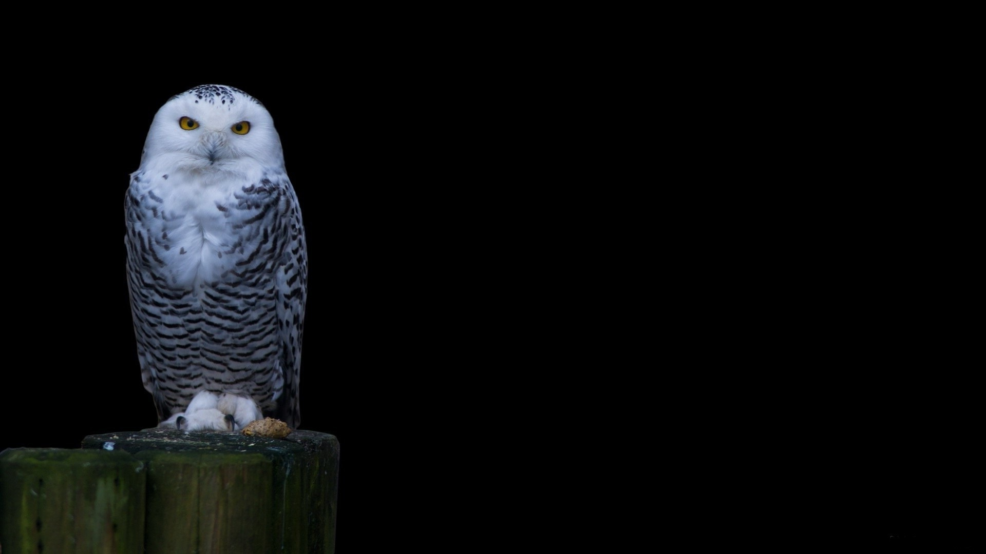 Owl Wallpaper Hd Download White Head Owl Wallpaper Snowy Owl 115282 Hd Wallpaper Backgrounds Download