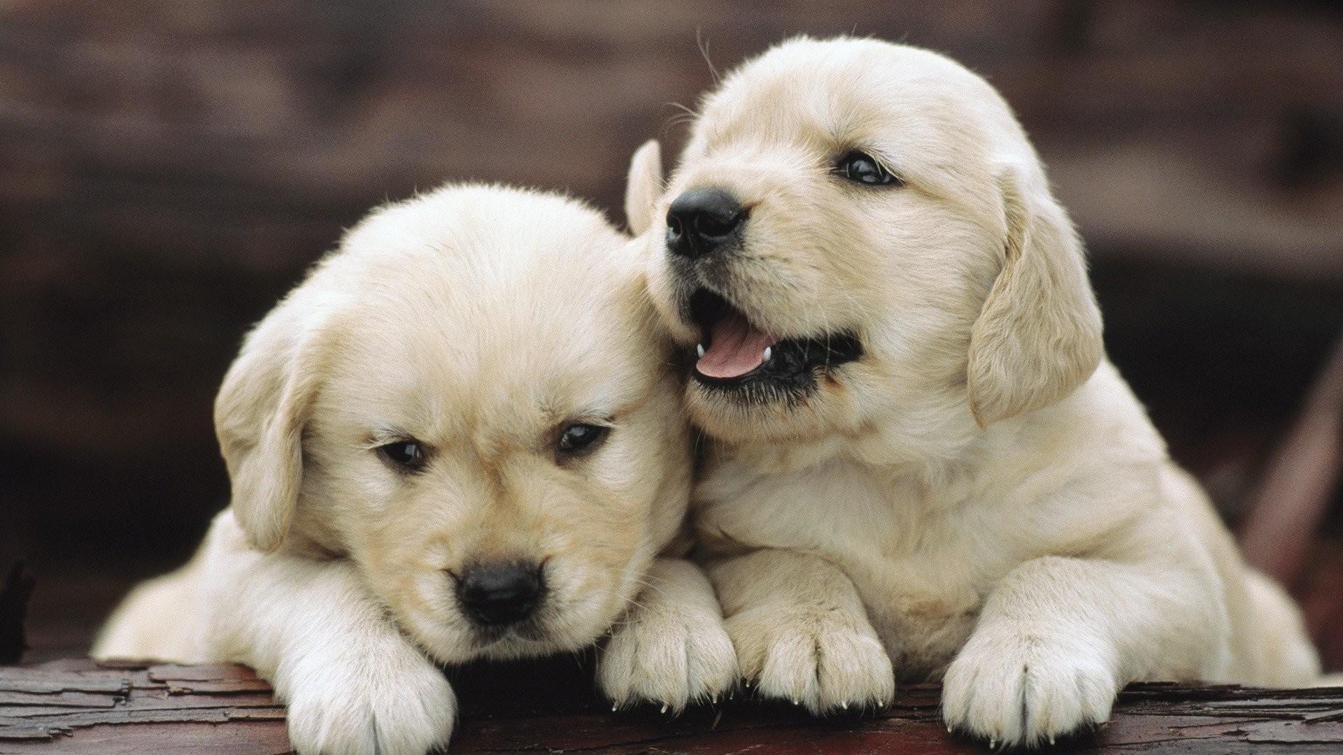 Cute Puppy Wallpaper Hd Golden Retriever Puppies 118613 Hd Wallpaper Backgrounds Download